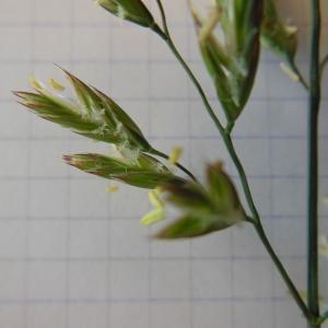 Schedonorus arundinaceus (Schreb.) Dumort. (Fétuque élevée)