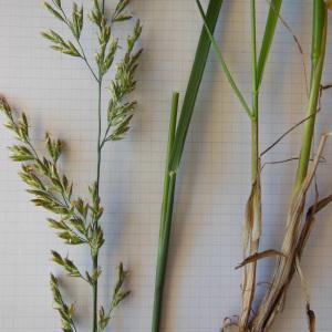 Photographie n°148739 du taxon Festuca arundinacea Schreb. [1771]