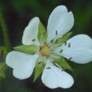 Photographie n°148808 du taxon Potentilla montana Brot. [1804]