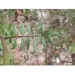 Phacelia sp.