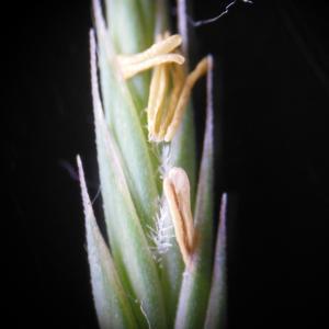 Photographie n°148898 du taxon Festuca rubra L. [1753]