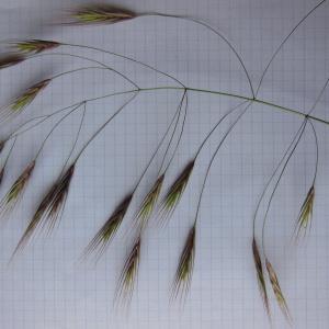 Photographie n°148900 du taxon Bromus sterilis L. [1753]