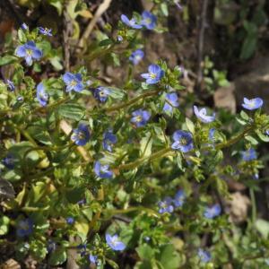 - Veronica acinifolia L. [1762]