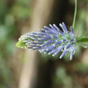 Phyteuma scorzonerifolium Vill. (Raiponce à feuilles de scorsonère)