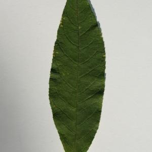 Photographie n°150091 du taxon Buddleja davidii Franch. [1887]