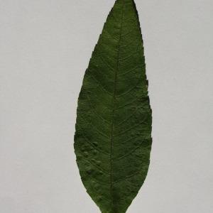 Photographie n°150096 du taxon Buddleja davidii Franch. [1887]