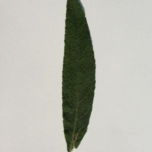 Photographie n°150097 du taxon Buddleja davidii Franch. [1887]
