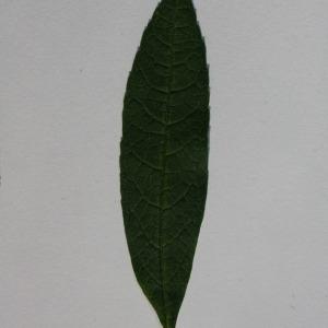 Photographie n°150100 du taxon Buddleja davidii Franch. [1887]