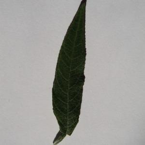Photographie n°150103 du taxon Buddleja davidii Franch. [1887]