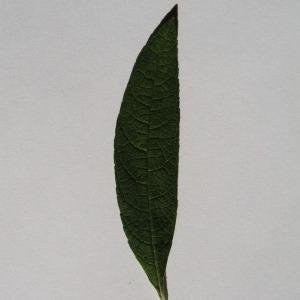 Photographie n°150105 du taxon Buddleja davidii Franch. [1887]