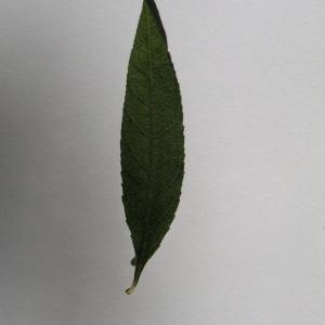 Photographie n°150106 du taxon Buddleja davidii Franch. [1887]