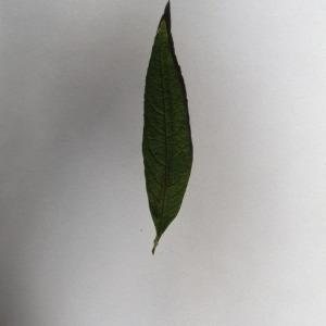 Photographie n°150107 du taxon Buddleja davidii Franch. [1887]