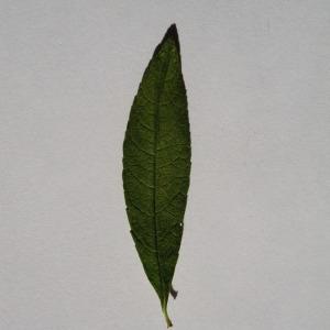 Photographie n°150108 du taxon Buddleja davidii Franch. [1887]