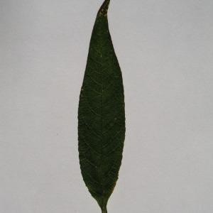 Photographie n°150109 du taxon Buddleja davidii Franch. [1887]