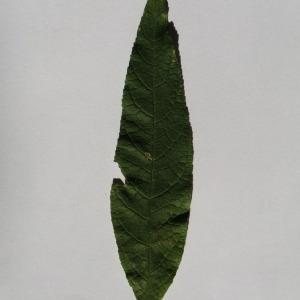 Photographie n°150110 du taxon Buddleja davidii Franch. [1887]