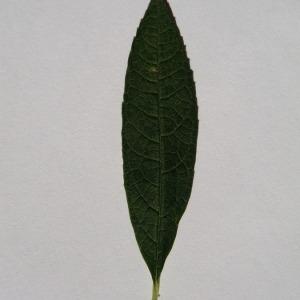 Photographie n°150112 du taxon Buddleja davidii Franch. [1887]