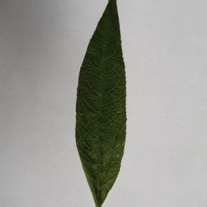 Photographie n°150114 du taxon Buddleja davidii Franch. [1887]