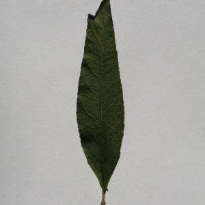 Photographie n°150115 du taxon Buddleja davidii Franch. [1887]