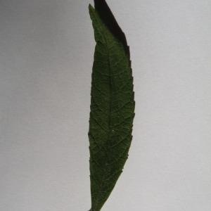 Photographie n°150117 du taxon Buddleja davidii Franch. [1887]
