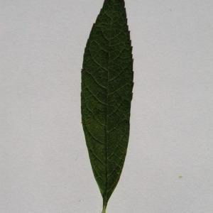 Photographie n°150118 du taxon Buddleja davidii Franch. [1887]