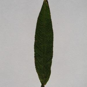 Photographie n°150120 du taxon Buddleja davidii Franch. [1887]
