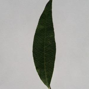 Photographie n°150122 du taxon Buddleja davidii Franch. [1887]