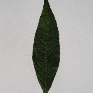 Photographie n°150123 du taxon Buddleja davidii Franch. [1887]