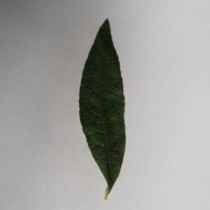 Photographie n°150124 du taxon Buddleja davidii Franch. [1887]