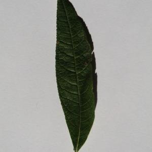 Photographie n°150125 du taxon Buddleja davidii Franch. [1887]