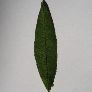 Photographie n°150126 du taxon Buddleja davidii Franch. [1887]