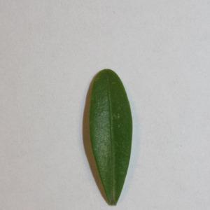 Photographie n°151542 du taxon Buxus sempervirens L.