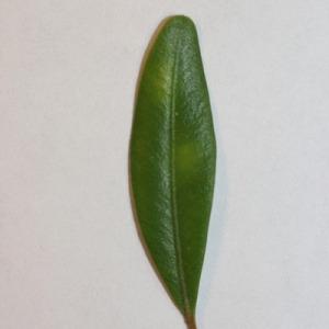 Photographie n°151543 du taxon Buxus sempervirens L. [1753]