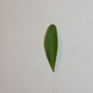 Photographie n°151544 du taxon Buxus sempervirens L. [1753]