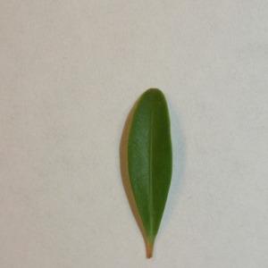Photographie n°151548 du taxon Buxus sempervirens L. [1753]