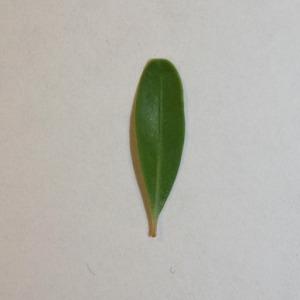 Photographie n°151549 du taxon Buxus sempervirens L. [1753]