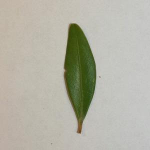 Photographie n°151550 du taxon Buxus sempervirens L.
