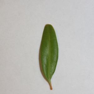 Photographie n°151551 du taxon Buxus sempervirens L.