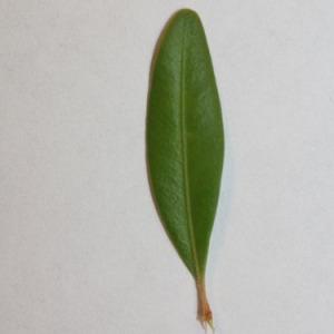 Photographie n°151553 du taxon Buxus sempervirens L. [1753]