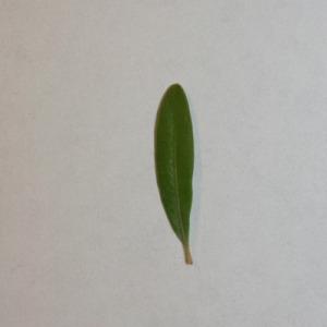 Photographie n°151554 du taxon Buxus sempervirens L. [1753]