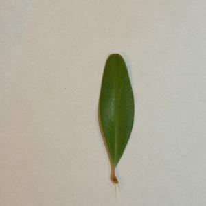 Photographie n°151555 du taxon Buxus sempervirens L. [1753]