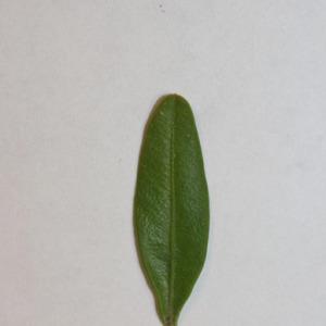 Photographie n°151556 du taxon Buxus sempervirens L. [1753]