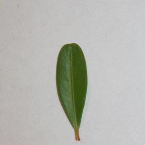 Photographie n°151557 du taxon Buxus sempervirens L.