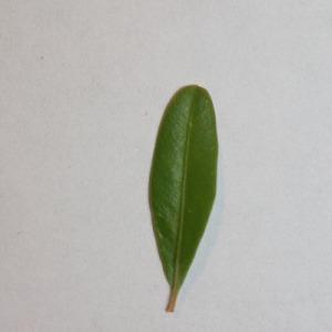 Photographie n°151558 du taxon Buxus sempervirens L. [1753]