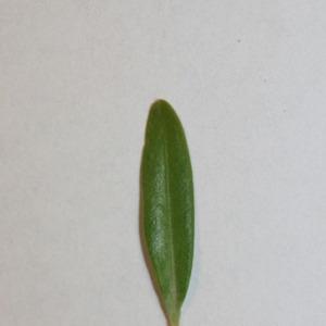 Photographie n°151560 du taxon Buxus sempervirens L.