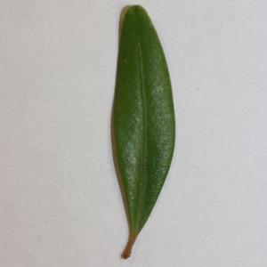 Photographie n°151561 du taxon Buxus sempervirens L.