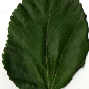 Photographie n°151630 du taxon Morus alba L. [1753]