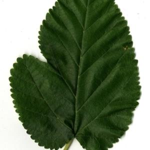Photographie n°151632 du taxon Morus alba L. [1753]