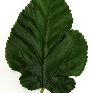 Photographie n°151633 du taxon Morus alba L. [1753]