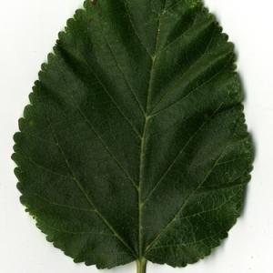 Photographie n°151634 du taxon Morus alba L. [1753]