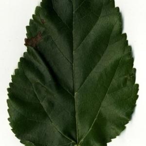 Photographie n°151635 du taxon Morus alba L. [1753]